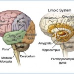 Anatomy of brain
